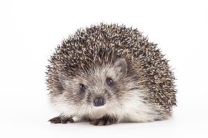hedgehogs are treated at Wellesley Exotic Pet Vets Richmond, VA
