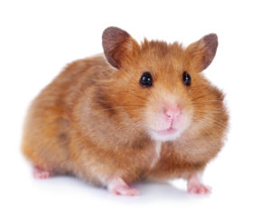 hamsters are treated at Wellesley Exotic Pet Vets