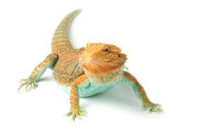 Bearded Dragon at Wellesley Exotic Pet Vet