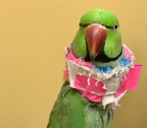 bird with collar from Wellesley Exotic Pet Vets
