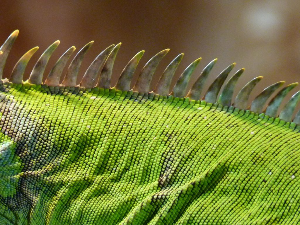 close up of iguana comb