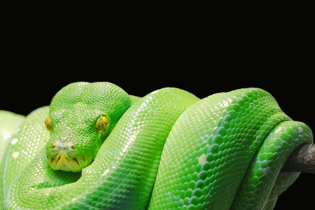 green tree python treated at Wellesley Exotic Pets Henrico County VA