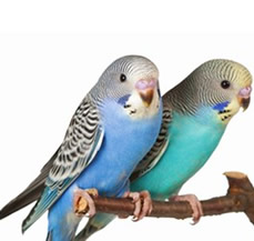 budgerigars are treated by our bird vets at our Exotic Pet Vet in Henrico County