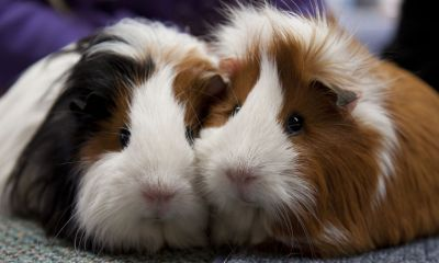 cute guinea pigs visit guinea pig vets