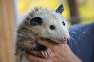 baby-opossum-Richmond-VA