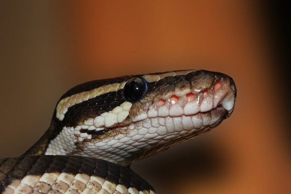 close up of ball python snake